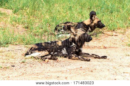 African wild dogs(Lycaon pictus) lying in the Kruger National Park South Africa