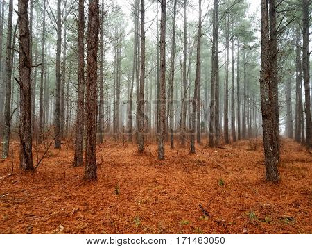 Rows of trees among a misty forest