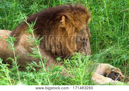 Lion sleeping in the high grass - Kruger National park - South Africa