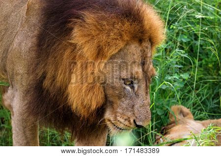 Portrait of male lion with female partner in the dense grass-Kruger National Park-South Africa