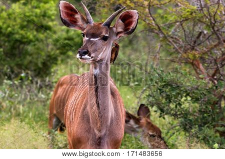 Antelope Kudu with oxpecker bird in Kruger National Park South Africa