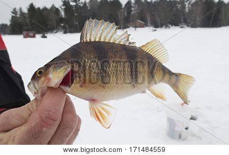 Fisherman holding up a trophy Jumbo Perch caught while ice fishing