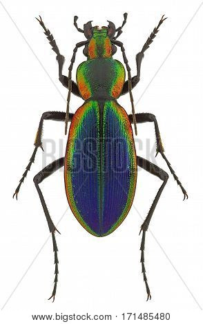 Ceroglossus chilensis latemarginatus a rainbow-coloured ground beetle from Chile