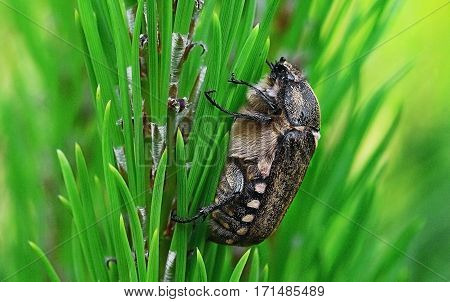 Anoxia scutellaris female grasping on a pine