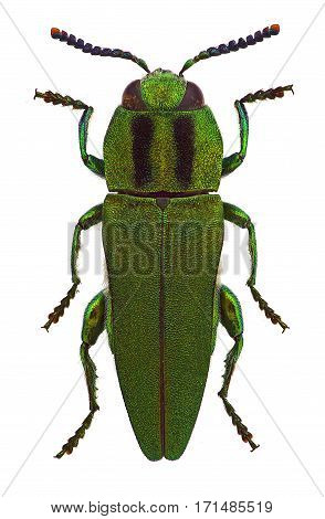 Anthaxia hungarica male a jewel beetle from Mediterranean countries