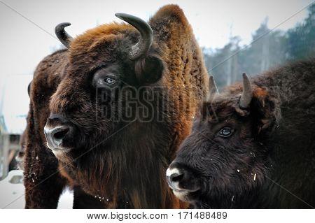 two portrait of European bison in winter bialowieza