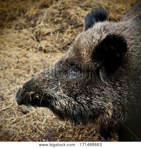 head of Wild boar on hay litter in winter