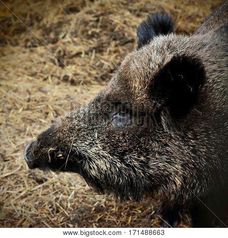 head of Wild boar on hay litter in winter