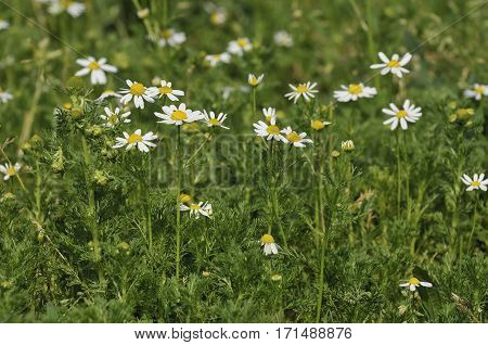 Scentless Mayweed - Tripleurospermum inodorum White Meadow Flower