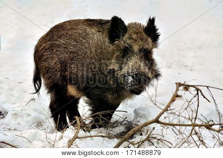 Wild boar in winter snowly forest Bialowieza