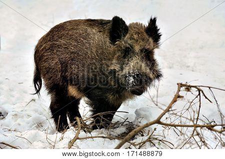 Wild boar in winter snowly forest Bialowieza
