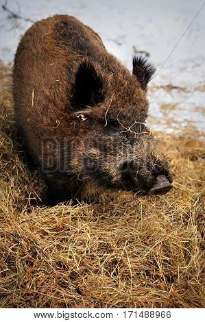 Wild boar on hay litter in winter forest of in Reservation