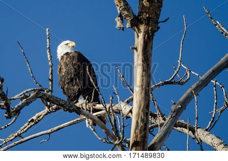 Bald Eagle Perched High in the Winter Tree