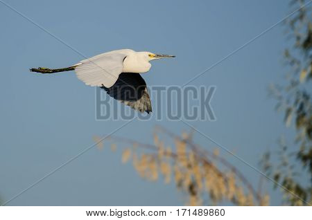 White Snowy Egret Flying in Blue Sky