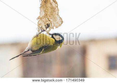 Tit Bird On Bird Feeder