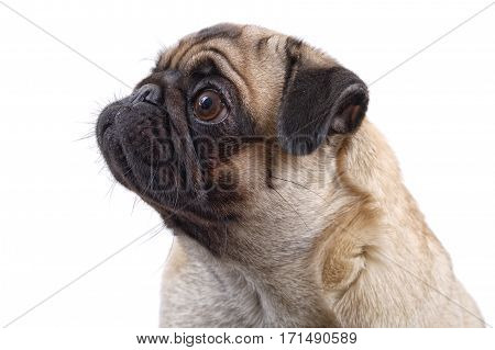 Portrait Of Mops Dog On A White Background