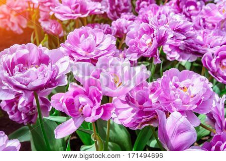 Marvellous tulip flowers in the Keukenhof park. Tulipa lilas perfection. Keukenhof Flower Park