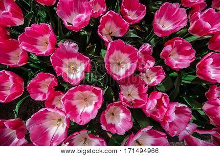 Flower field with colorful tulips. Tulipa Innuendo . Keukenhof Flower Park