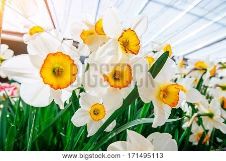 Yellow Daffodils in the gardens of Holland. Narcissus Flower Record. Keukenhof Flower Park