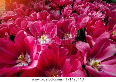 Flower field with colorful tulips. Tulipa Domino. Keukenhof Flower Park