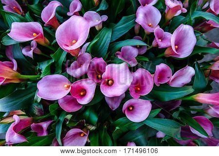 Calla lilys. Abstract background Keukenhof Flower Park