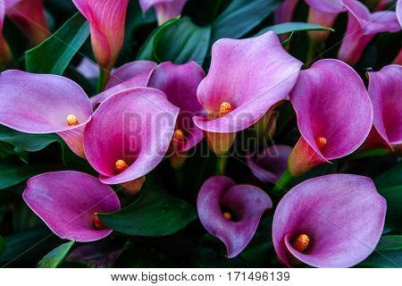 Calla lilys. Abstract background Keukenhof Flower Park