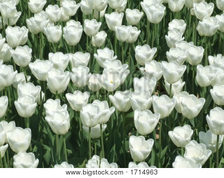 White Tulips Carpet Background
