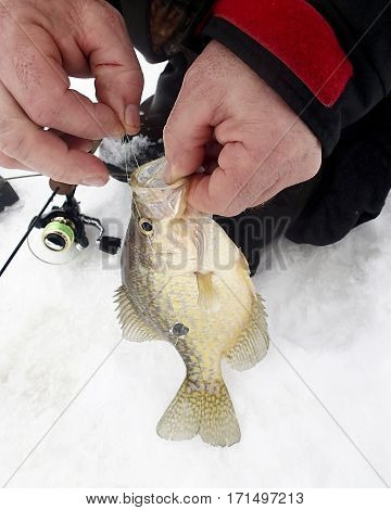 Fisherman pulling the hook from a crappie caught ice fishing