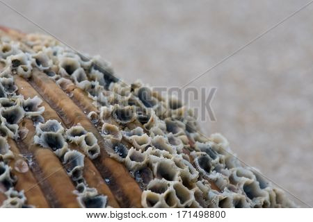 Grains of Sand and Barnacles on Shell Close Up with copy space above