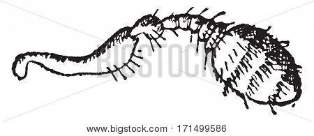Myelophilus, vintage engraved illustration.