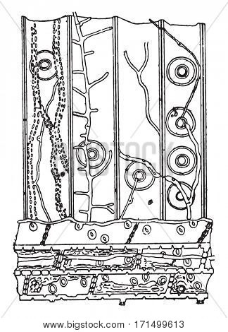 Longitudinal section in a pine wood fragment contested by Merulius, vintage engraved illustration.