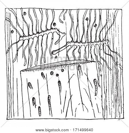 Galleries of Tomicus curvidens in the phloem of a tree trunk, vintage engraved illustration.