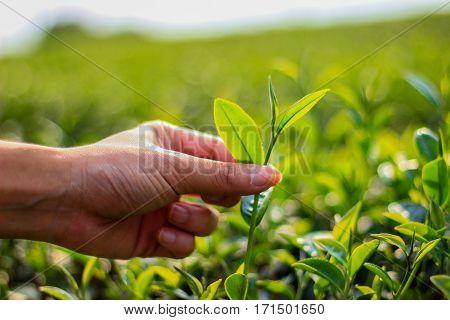 Closeup hand pick tea leaves, The tea leaves are harvested