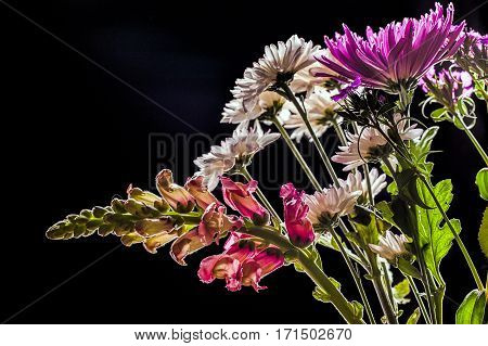 An isolated image of snapdragons and mums set against a black background.