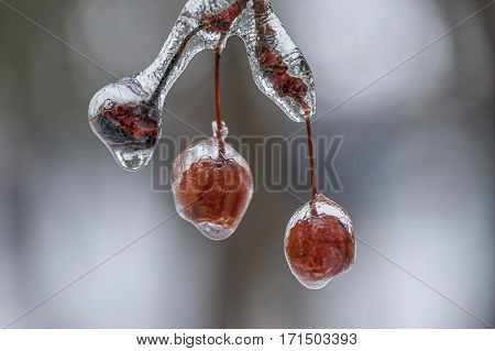 Ice covers tree berries in the winter.