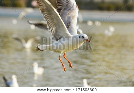 Seagull flying with open wings on water.
