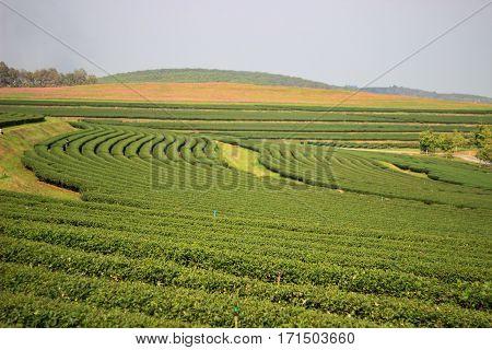 Tea plantation acreage wide hardwoods, Tea Industry