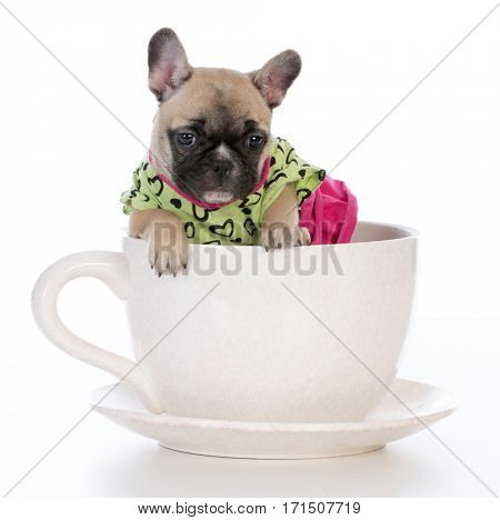 french bulldog puppy sitting in a tea cup on white background
