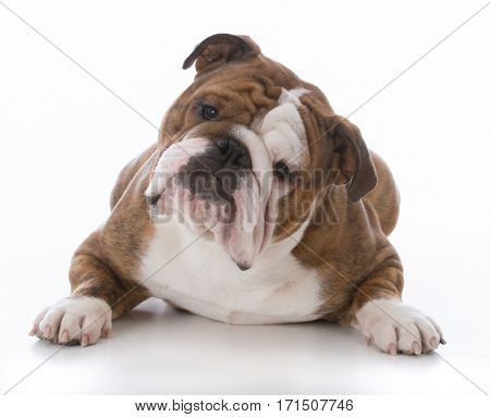 male bulldog laying down looking at viewer on white background