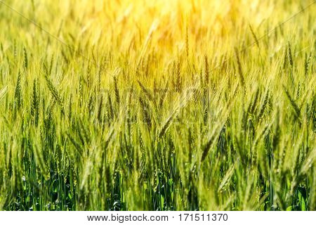 Green grass field Rich harvest wheat field Fresh crop of wheat.