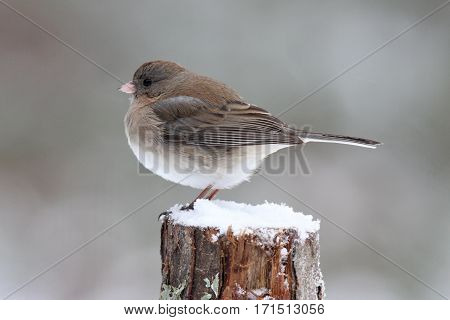 A female junco perching on a branch in winter