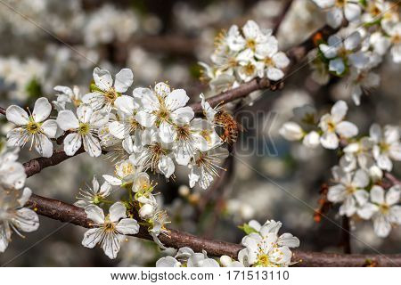 Bee collects pollen from white flower on  flowering tree in spring.
