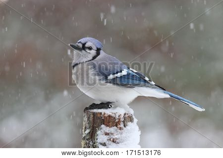 A blue jay perching in a winter snowstorm