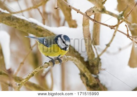 Cute little Eurasian Blue Tit bird in blue yellow perching on tree branch all alone while snowing during winter in Austria, Europe (Parus Caeruleus, Blaumeise)
