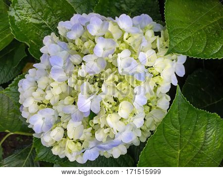 Blue yellow Hydrangea (hortensia) flowers blossoming in the garden during summer in Thailand, Asia