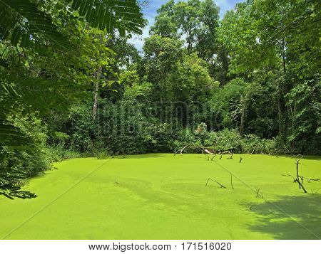 Green pond full of Mosquito fern covering, Water fern (Azolla) surrounded by big tree in tropical forest in Thailand, Asia
