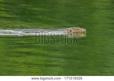 Asian Malayan water monitor lizard swimming in green pond in Bangkok, Thailand, Asia (Varanus salvator)