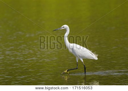 Little egret aquatic heron with black legs, yellow feet walking in water looking for food in Thailand, Asia (Egretta garzetta)