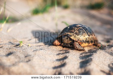 turtle goes slowly in the sand with its protective shell.