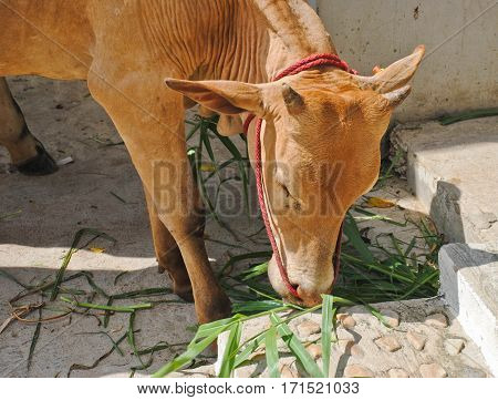A young brown cow grazing on grass in sunny day